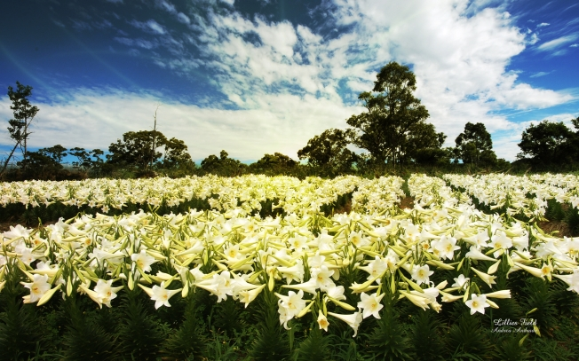Lilies of the Field Photo by Andrea Andrade
